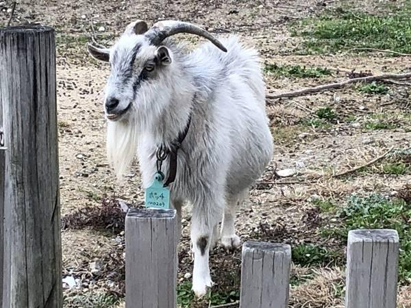 愛知牧場かっこいいヤギ